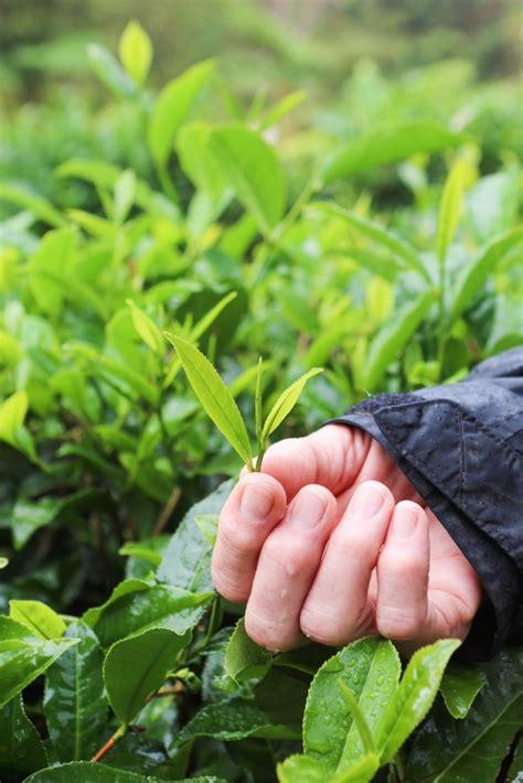 Hilo Green Tea big island tea in hawaii thirsty for tea