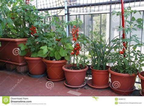 Plantes De TOMATE Sur La Terrasse De L'appartement Dans La