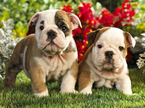 puppies bulldogs bulldog puppies wallpapers pics animals
