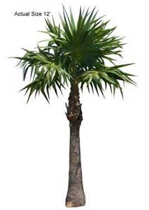 florida thatch palm thrinax radiata