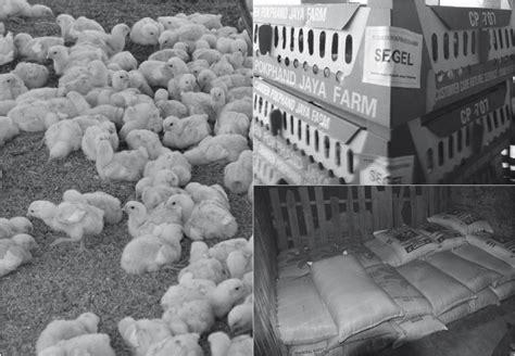 Ayam Broiler Pokphand agribisnis ayam broiler panduan lengkap budidaya