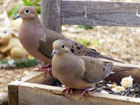 brown pigeon like bird
