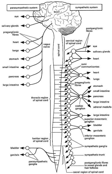 anatomy physiology coloring workbook answers the nervous system best 25 autonomic nervous system ideas on