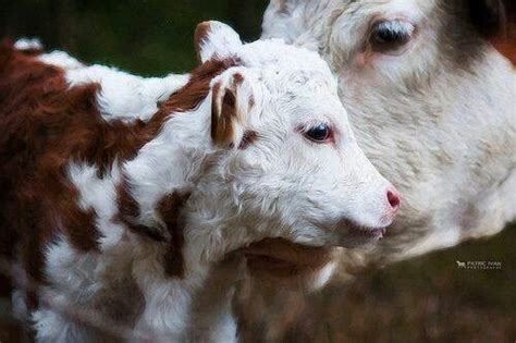 Topi Elleven Cow cows so sweet and gentle herf mommas and are