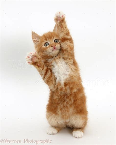 ginger kitten standing up and reaching out photo wp25853
