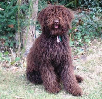 australian labradoodle puppies for sale best 25 labradoodle breeders ideas on labordoodle puppy labradoodles and