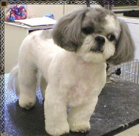 shih tzu ewok haircuts 16 best shih tzu hair cuts images on pinterest shih tzus