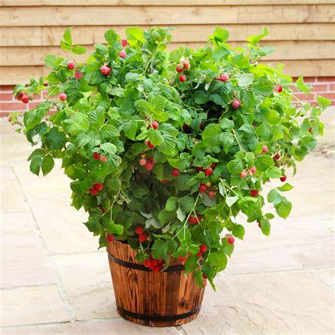 himbeeren pflanzen balkon topf himbeere ruby g 228 rtner p 246 tschke