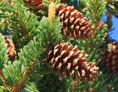pine cone trees nature center magazine why are pine cones