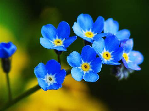 Jual Bibit Bunga Forget Me Not jual benih seeds bibit flower cynoglossum amabile forget me not wildflower seeds