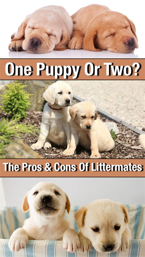 theme names for a litter of puppies one labrador puppy or two