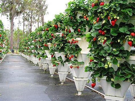 Vertical Strawberry Garden Hydro Taste U Hydroponics Farm Myakka City Fl On
