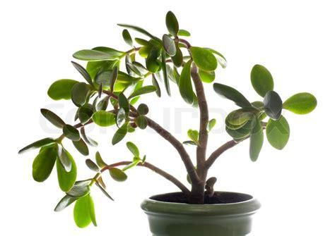 feng shui pflanzen reichtum potted stammwerk crassula jade auf wei 223 em dieser pflanze