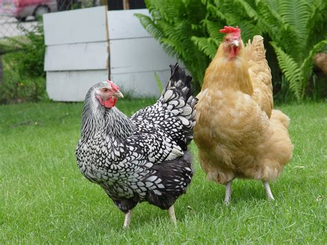 How To Keep Backyard Chickens Can I Keep Chickens In My Backyard