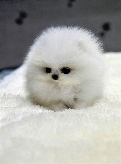 smallest pomeranian in the world top 10 smallest breeds the pet s planet ohmigawd this is the cutest thing i ve