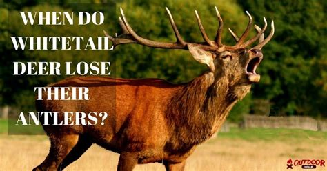 Do Whitetail Deer Shed Their Antlers by When Do Whitetail Deer Lose Their Antlers What You Need