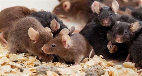 imagenes en movimiento de ratones as 237 fue universo 25 el para 237 so artificial para ratones