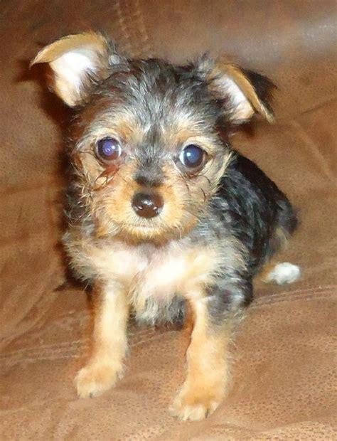 ocala4sale puppies chorkie puppy