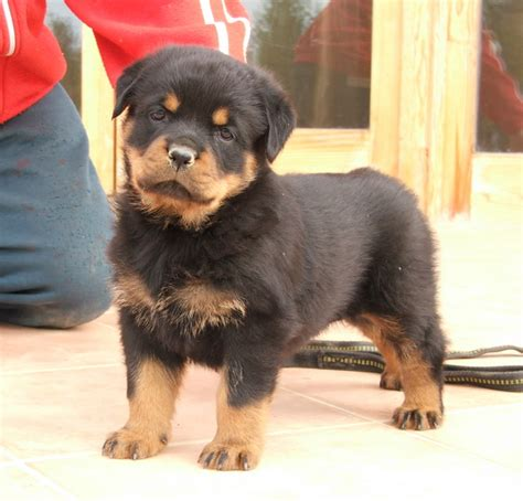 rottweiler dogs for sale pets pakistan rottweiler puppies for sale
