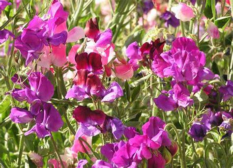 fiore pisello odoroso pisello odoroso guida completa alla coltivazione e cura