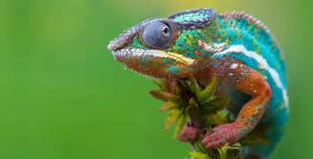 chameleons changing colors chameleon color changing abilities unlocked by science
