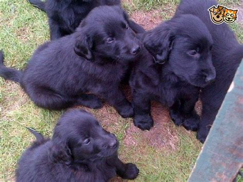 flat coat retriever puppies for sale only x 2 bitches left flat coated retriever pups inverness inverness shire