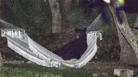 The Hammock Florida black relaxes on a hammock in a florida s