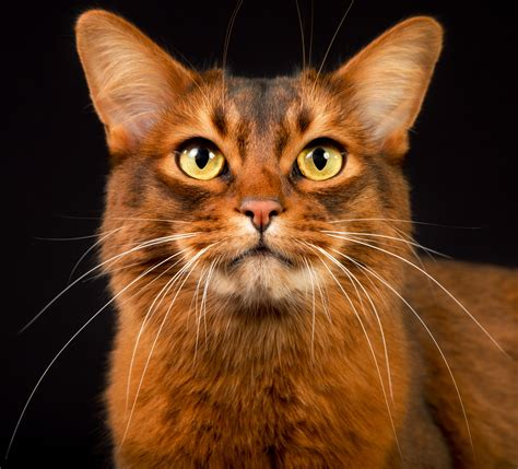 somali cat breeders in canada on pickapawsomali in canada