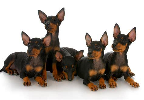 manchester terrier puppies manchester terrier puppies for sale akc puppyfinder