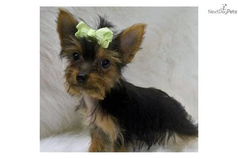 free yorkie puppies in arkansas terrier yorkie for sale for 2 000 near fort smith arkansas ec03619a fb81