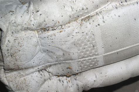 pulci da materasso poco conosciute pericolose e infestanti le cimici dei