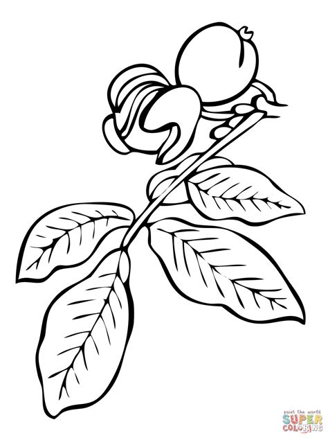 walnut tree coloring page walnut tree branch coloring page free printable coloring