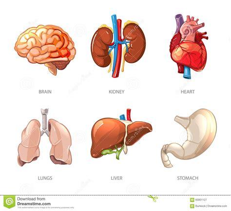 anatomia umana immagini organi interni disegno corpo umano organi interni oq75 187 regardsdefemmes
