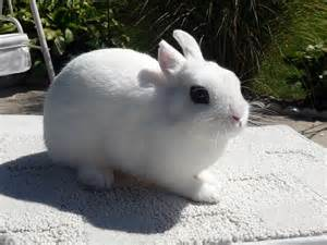 dwarf hotot rabbits usa rabbit breeders