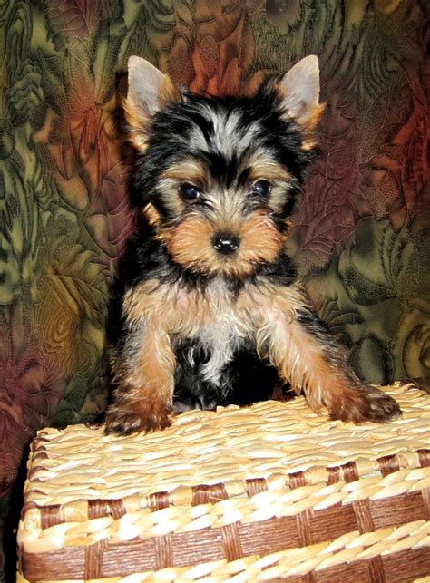 teacup yorkie ny teacup pups puppies for sale in ny upcomingcarshq