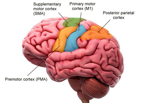 primary motor cortex function and location location structure and function of the motor cortex