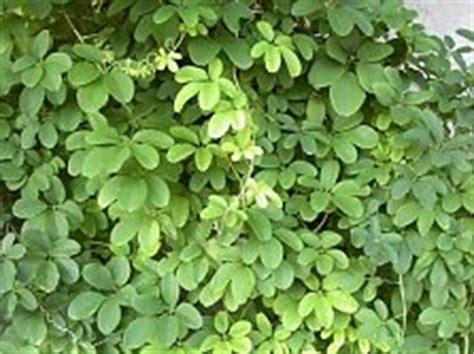 kletterpflanzen immergrün winterhart kletterpflanzen kaufen 220 bersicht mit vielen beispielen