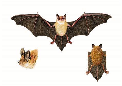 le pipistrelo pipistrello
