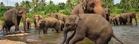 elephant habitat animal facts  information