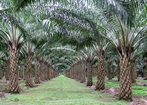 Minyak Kelapa Sawit Curah teknik budidaya kelapa sawit archives budidaya kelapa sawit