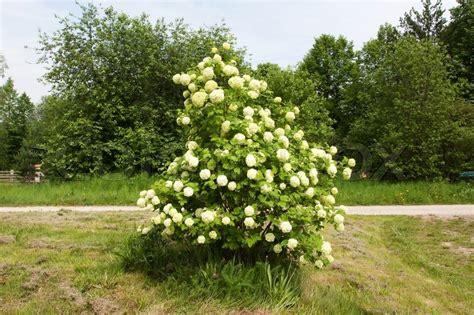shrub with small white flower clusters shrub with clusters of white flowers stock photo colourbox