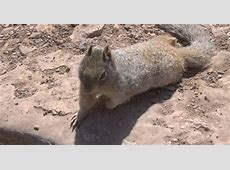 Grand Canyon Rock Squirrel | Walking Arizona Kangaroo Jack Cliff