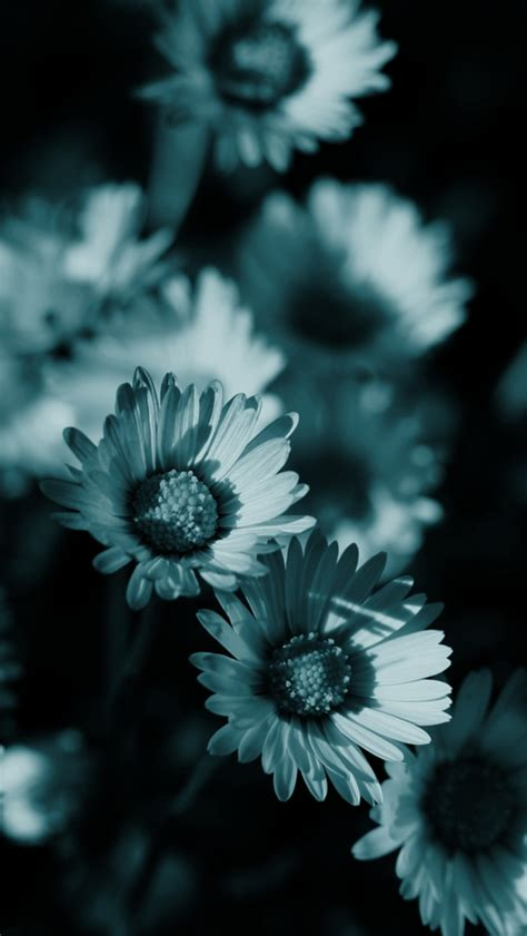 black and white daisy wallpaper black and white daisy wallpaper wallpapersafari