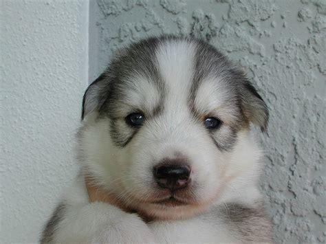 mini husky puppies miniature husky