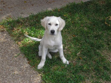 4 month golden retriever file 4 months white golden retriever jpg