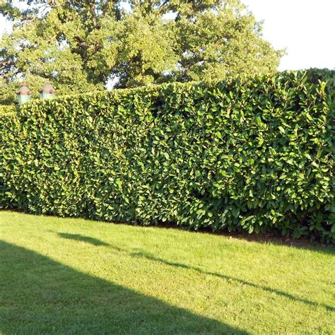 prunus laurocerasus rotundifolia hedge 5 cherry laurel hedge plants prunus laurocerasus