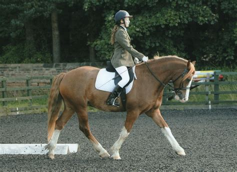 Welsh Section D Gelding For Sale Stanley County Durham