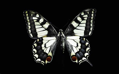 black and white butterfly wallpaper black and white butterfly wallpaper funny animal