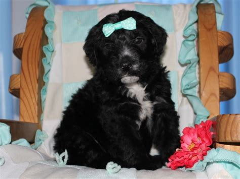bernedoodle puppies for sale in ohio bernedoodles puppies for sale in kentucky bernedoodle puppies and dogs