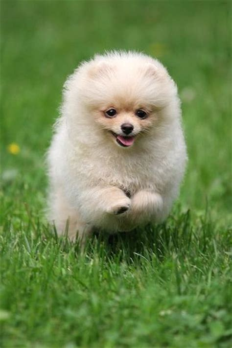 pomeranian pet store pomeranian puppy on running jpg